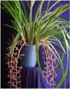 cimbidium aerofolium1 tercer semana enero