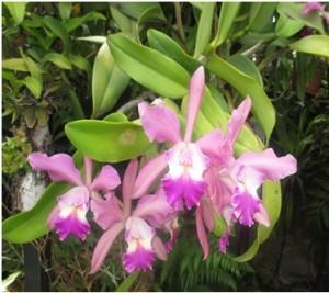 Laelia pumila x Cattleya intermedia
