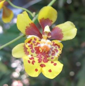 oncidium pulvinatum