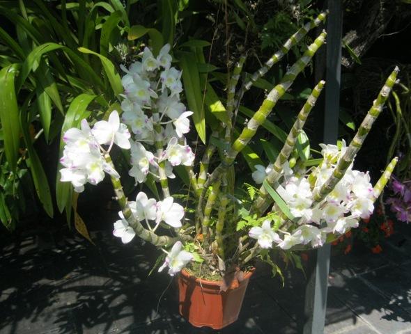 orquídeas historia