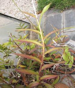 Epidendrum  quitensium