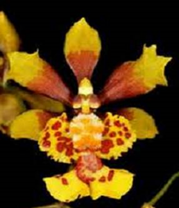 oncidium may45