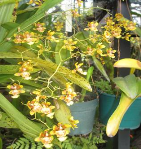 oncidium may46