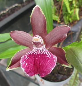 Chadwickara Orquídea Jade (Zigopetalun maxillare x Pabstosepalum Ash Tree)