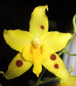 Odontoglossum Serendipity 'Yellow Mellow'