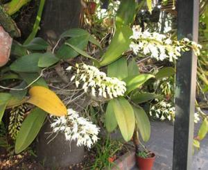 Dendrobium especiosum var. Hilli