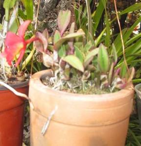 Soprhonitis acuensis (Planta)