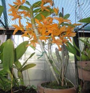 """Dendrobium Stardust """"Firebirds"""" (Planta)"""