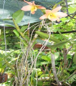 "Dendrobium Mini Raimbow ""Miss Pink"" (Planta)"