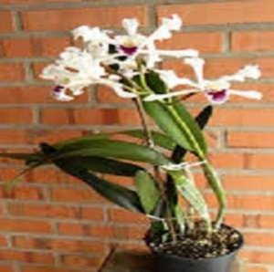 Cattleya crispa (Ex Laelia) planta