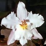 Odontoglosum crispum