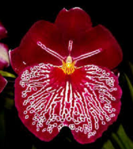Miltoniopsis Breathless