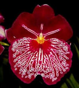 Miltoniopsis Breathless