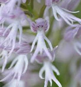Orchis itálica