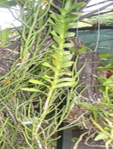 Renanthera coccínea planta