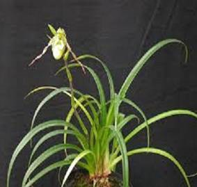 Phragmipedium richteri planta