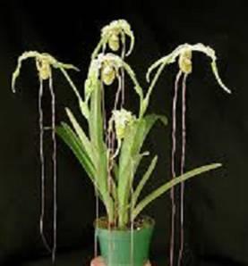 Phramipedium Caudatum (planta)
