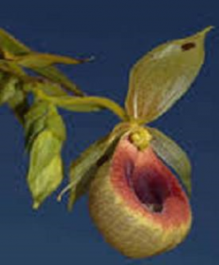 Selenipedium aequinoctiale