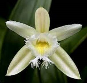 jul1632bien Sobralia fragrans
