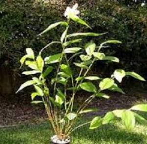 Sobralia rogersiana planta