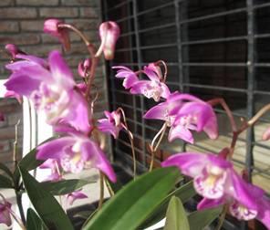 Dendrobium kingianum var. tipo
