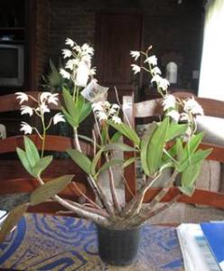 Dendrobium kingianum var. alba