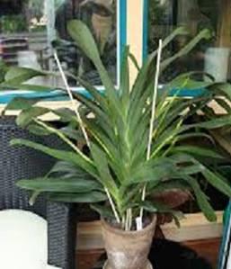 Angraecum planta