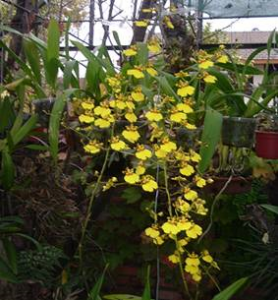 "Oncidium Gower Ramsey var. ""Volcano Queen"""