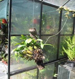 Oncidium bifolium var. majus (NEA) planta