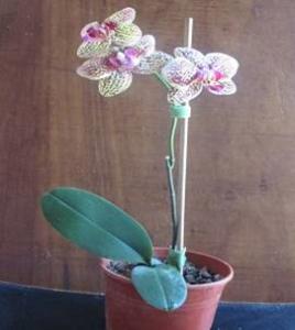 Phalaenopsis Shu Long Charner (Híbrido Intergenérico)  planta