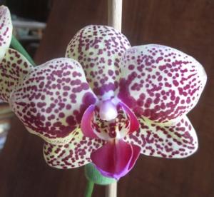 Phalaenopsis Shu Long Charner (Híbrido Intergenérico)