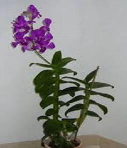 D.Phalaenopsis (planta)