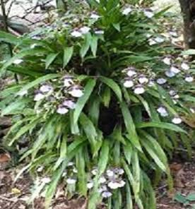 Zigopetalum maxilliare (planta)