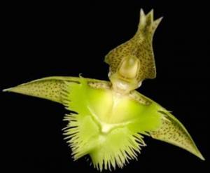 Catasetum fimbriatum (flor macho)