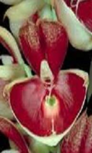 C. pileatum (flor macho)