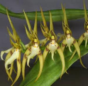 Brassia peruviana
