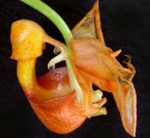 C. especiosa