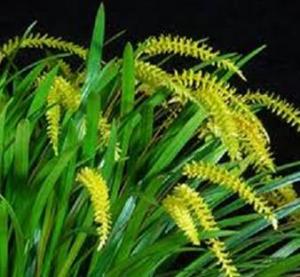 Dendrochilum javieri