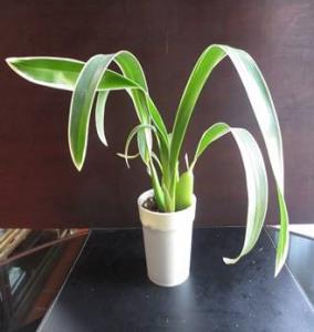 planta Brassidium Gilded Unchin 'Halo'