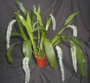 Dendrochilum glamoceum