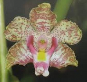 Cyrtopodium cipoense