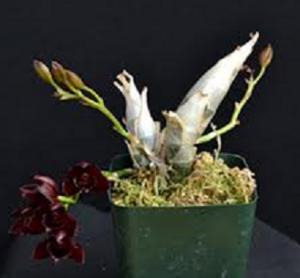 Mormodes planta