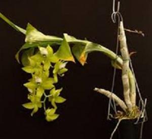 Cycnoches planta
