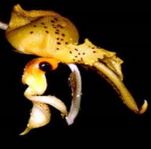 Stanhopea costaricensis