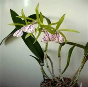 Brassavola Binosa (B. nodosa x C, bicolor)